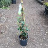 Trachelospermum jasminoides (Star Jasmine) - 3ltr pot