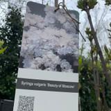 Syringa vulgaris 'Beauty of Moscow' 10ltr