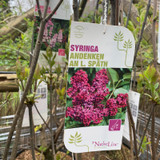 Syringa 'Andenken An L. Spath' 10ltr (Lilac)