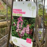 Syringa prestoniae 'Red Wine' 10ltr (Lilac)