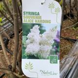 Syringa 'Souvenir Alice Harding' 10ltr (Lilac)