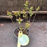 Syringa Flieder 'Primrose' (Lilac)