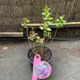 Syringa Flieder 'Amethyst' (Lilac)