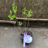 Syringa vulgaris  'Firmanent' (Lilac)