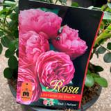 Rose 'Leonrdo da Vinci' - Potted