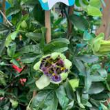 Passiflora caerulea piramide (Passion Flower)