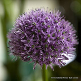 aflatunense Alliums