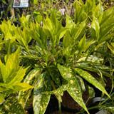 Aucuba japonica 'Golden Girl' 3ltr