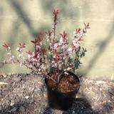 Prunus x cistena (Purple-leaf Sand Cherry) - 10ltr