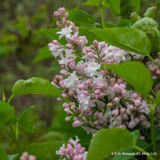 Syringa vulgaris 'Beauty of Moscow' - 5ltr