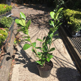 Prunus laur. 'Rotundifolia' (Cherry Laurel) - 5ltr