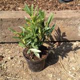 Prunus laurocerasus 'Otto Luyken' - 2ltr