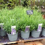 Lavender Munstead' (Lavandula)