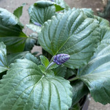 Salvia 'Mystic'