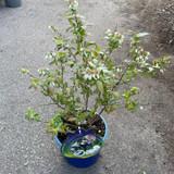 Blueberry 'Chippewa' 3 ltr