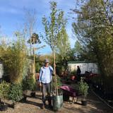 Acer campestre 'Fastigiata' - 10/12cm girth