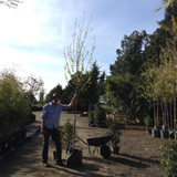 Acer campestre 'Queen Elizabeth' - 8/10cm girth