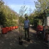 Betula pendula (Silver Birch) - 175/200cm