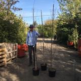 Betula Jacquemontii (Himalayan Birch) 175/200cm