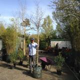 Crataegus prunifolia - 12/14cm