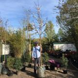 Prunus avium (Wild Cherry) 12/14cm