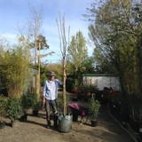 Prunus padus 'Watereri' 12/14cm