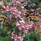 Sorbus arnoldiana 'Kirsten Pink' - 6/8cm