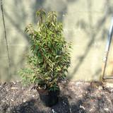 Prunus lusitanica 'Angustifolia' (Portuguese Laurel) - 80/100cm