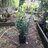 Prunus laur. 'Caucasica' (Cherry Laurel) 80-100cm