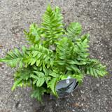 Polypodium vulgare - Hardy Fern