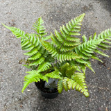 Fern Dryopteris lepidopoda   - Hardy Fern