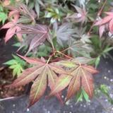 Acer 'Atropurpureum' (p26)