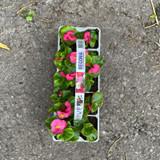 Begonia (10 pack)