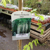 Wisteria floribunda 'Alba' - 175cm-200cm