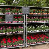 Upright geraniums (colour by colour)