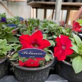 Petunia -Black Pot