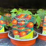 Tomato 9cm (Mixed Varieties)