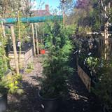Thuja plicata (Western Red Cedar) 125-150cm potted