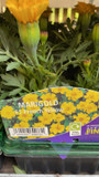 French Marigold - 6 Pack