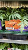 American Marigold - 6 Pack