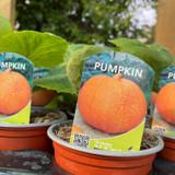Pumpkin - 9cm