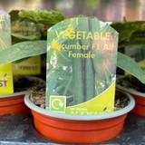 Cucumber - 9cm