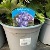 Delphinium - 3 Litre