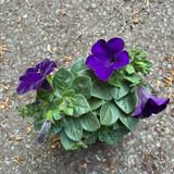 Petunia (p10)