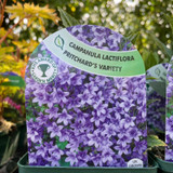 Campanula lac. 'Prichard's Variety' 9cm
