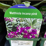 Matthiola incana pink 9cm