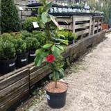 Camellia japonica 'Elegans' - 5ltr pot