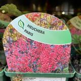 Heuchera 'Paris' 9cm