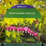 Dicentra spectabilis 'Yellow Leaf' 9cm