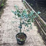 Eucalyptus gunnii - 3ltr